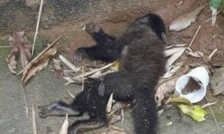 Um dos macacos encontrados mortos no Rio Foto: Reprodução