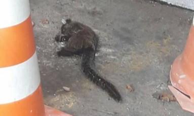 Macaco foi encontrado morto em condomínio de Campo Grande Foto: Reprodução/Redes Sociais