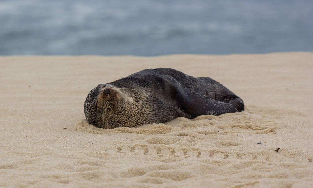 Lobo-marinho descansa nas areias da Praia de Itaipuaçu Foto: Marcos Fabricio / Divulgação/Prefeitura de Maricá