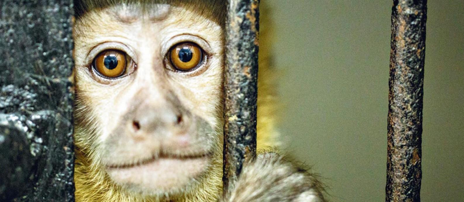 Macaco ferido que foi levado para um centro de reabilitação veterinária da Universidade Estácio de Sá Foto: Brenno Carvalho