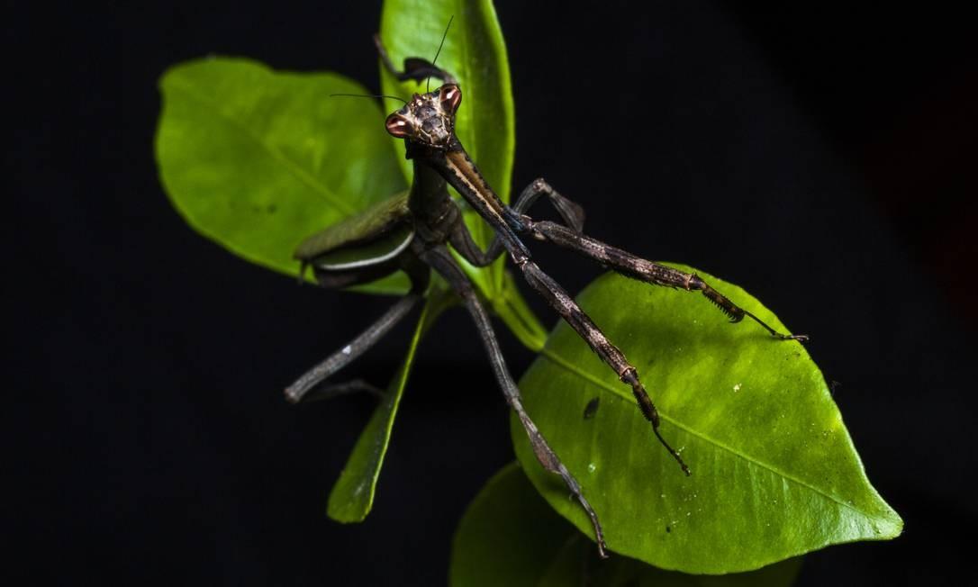 Louva-a-deus fêmea, de espécie inédita. Foto: Divulgação/Projeto Mantis