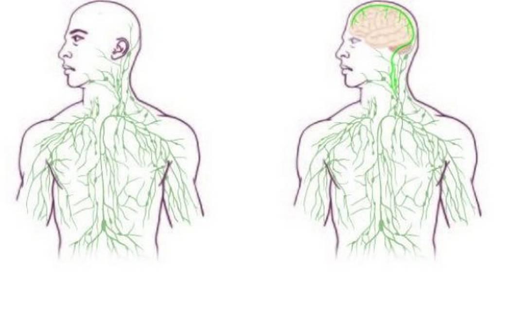 À direita, a ligação entre o cérebro e o sistema imunilógico descoberta por pesquisadores da Universidade de Virgínia Foto: Reprodução